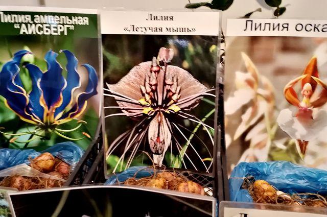 1) Не «Лилия ампельная «Айсберг», а африканское растение глориоза, красный цвет которой к тому же компьютерным способом изменили на синий; 2) Не «Лилия «Летучая мышь», а тропический цветок такка Шантрье, который, кстати, даже отдалённо на лилию не похож.