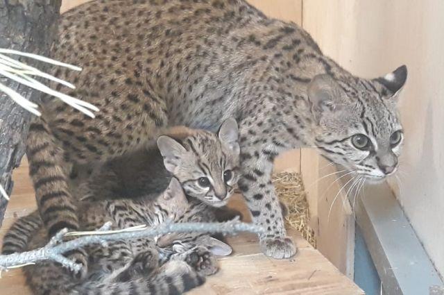 В семействе кошек Жоффруа из новосибирского зоопарка прибавление