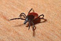 Восемь районов Коми признали опасными по клещевому энцефалиту.