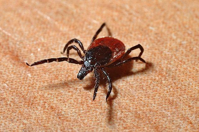 Клещи являются переносчиками опасных инфекций.