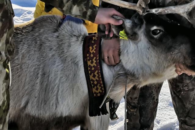 На Ямале завершили весеннюю вакцинацию оленей против сибирской язвы