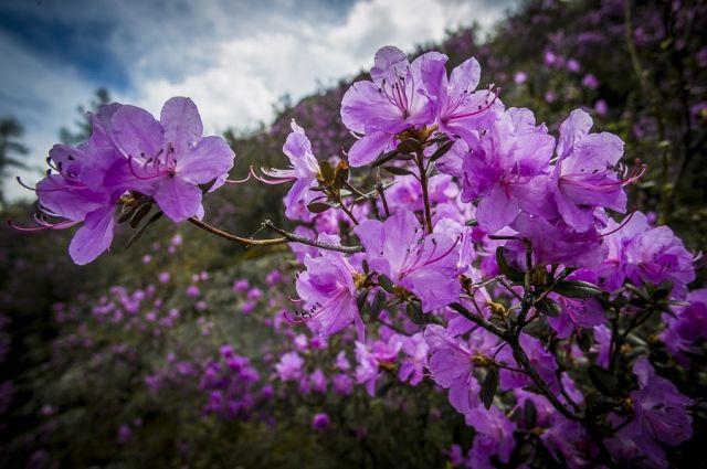 Праздник Цветение маральника в Алтайском крае