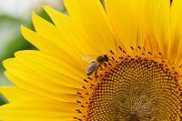 Украина увеличила экспорт подсолнечного масла на 116%