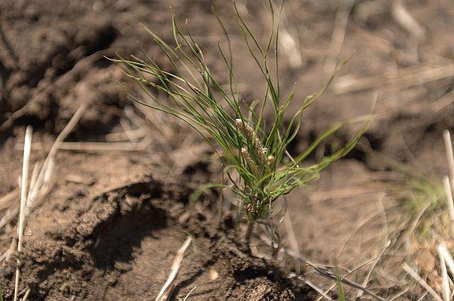 Чтобы вырастить осину и снова пустить её под рубку, необходимо ждать  41 год. Для других деревьев это срок ещё выше. Например, берёза взрослеет за 61 год, ель, пихта, сосна, лиственница - за 101.