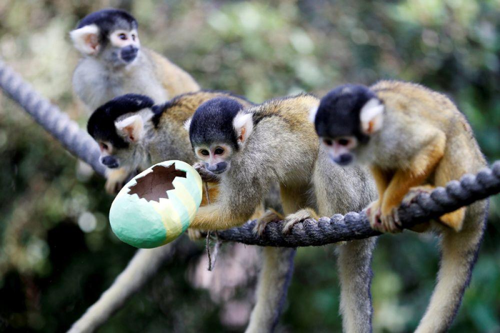 Обезьяны едят угощения из пасхального яйца из папье-маше в Лондонском зоопарке.
