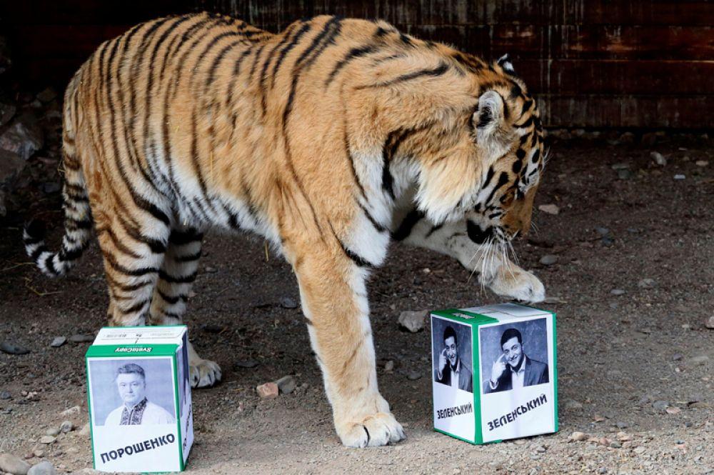 Амурский тигр Бартек предсказывает победителя президентских выборов на Украине в зоопарке в Красноярске.
