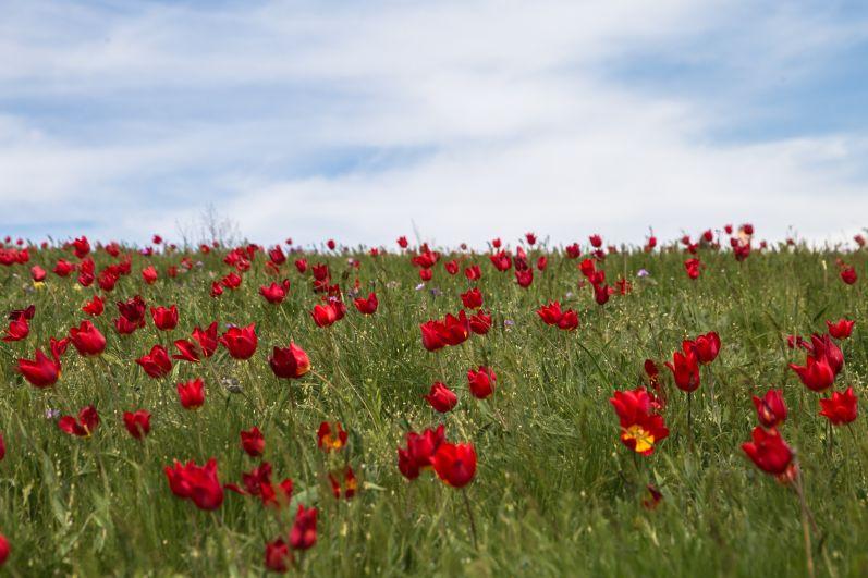 Во время цветения тюльпанов заповедник посетило 10 тыс. человек.