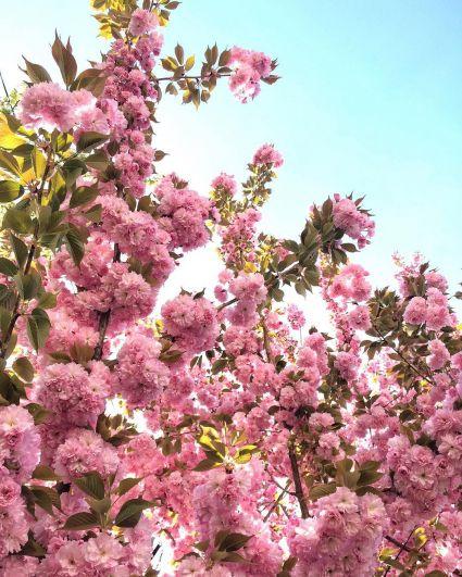 Сакура - это декоративная японская вишня, которая была завезена в Ужгород в 1923 году из столицы Австрии (Вены).