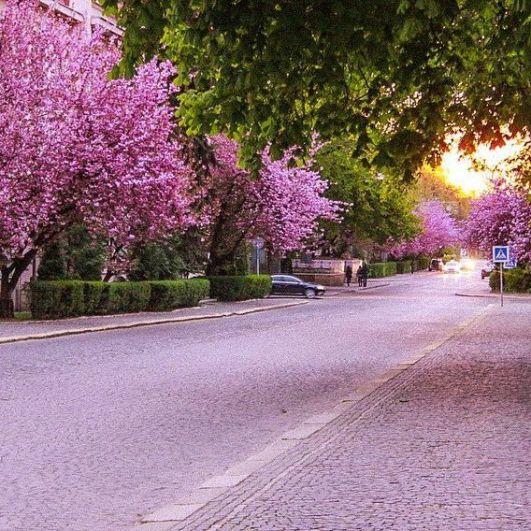 Цветение сакуры кратковременно, длится оно 2-3 недели максимум. Традиционно официальные дни цветения сакуры в Ужгороде отмечают с 25 апреля и до конца майских праздников.