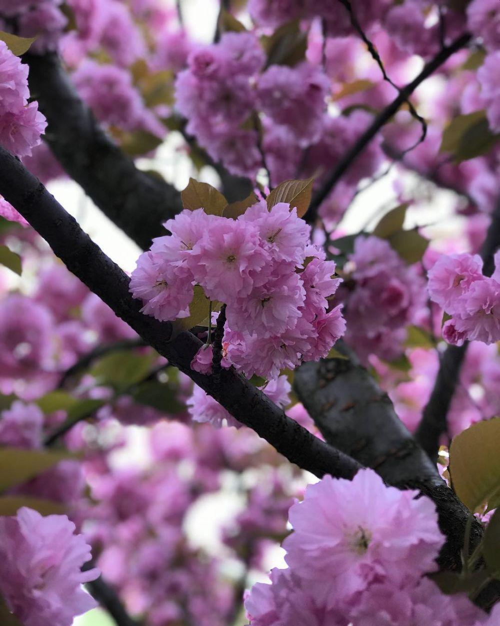 В Ужгороде много декоративных японских вишен можно увидеть в районе набережной реки Уж.