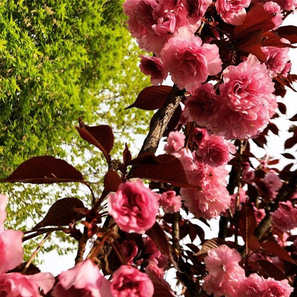 Сакура цветет в конце апреля − начале мая.