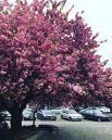 Сакуры растут не только в Ужгороде, хотя именно он у всех на слуху в связи с «новостями розового цвета». Однако, в Мукачево и других городках Закарпатья их не меньше.