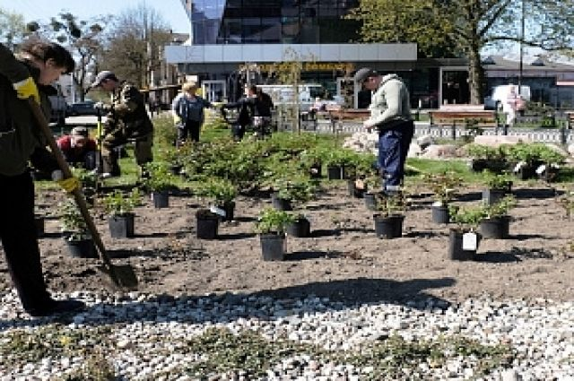 В Калининграде высадили два розария