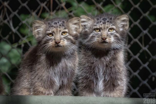 Каждый маленький манул, рожденный в зоопарке, дает надежду на то, что уникальные кошки не исчезнут, и популяция будет восстанавливаться.