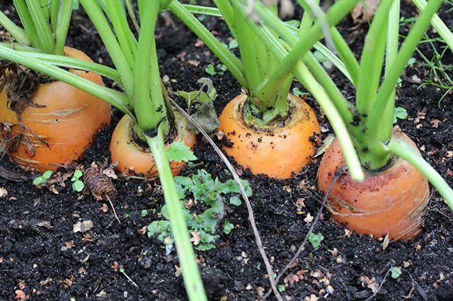 Особое внимание следует уделить посеву моркови.