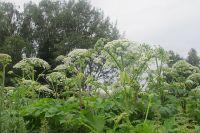 Одним из растений-агрессоров является борщевик Сосновского