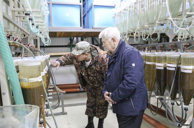 В Уватском районе готовятся к выпуску почти ста миллионов личинок пеляди