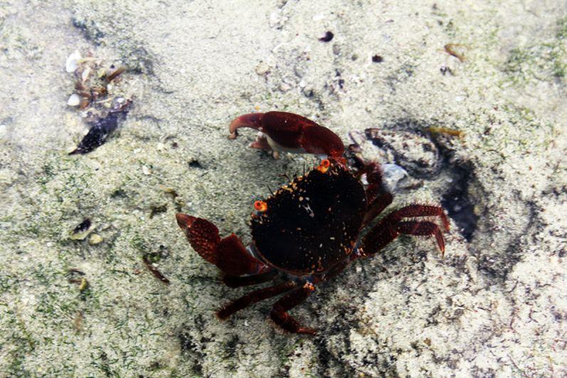 Маленькие крабы, которыми бывают усеяны пляжи.