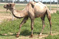 В тюменском зоопарке родились верблюжата