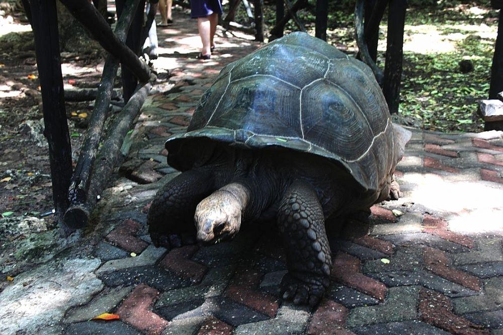 Огромные черепахи Восточной Африки.