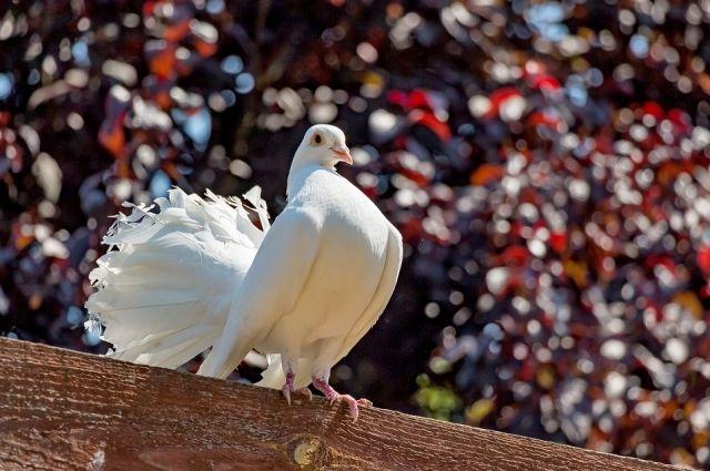 На Первомай тюменцам подарят шары с изображением голубя, символа весны