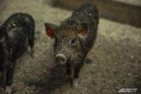 Судьбу крупнейшего свинокомплекса в Хабаровском крае решат до 15 июня