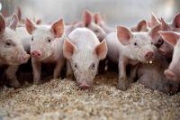 Вспышка африканской чумы свиней обнаружена в Тернопольской области