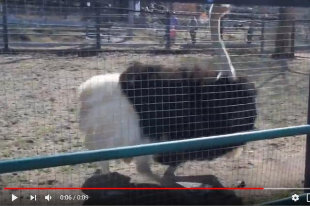 Африканский страус Николай.