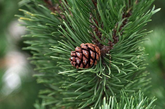 Сосна из Удмуртии может стать главным деревом России