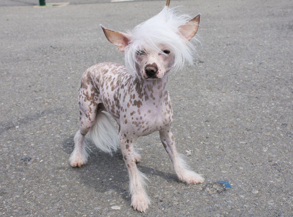 Китайская хохлатая собака.