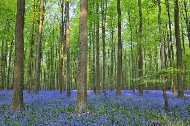 «Волшебный голубой лес Халлербос».