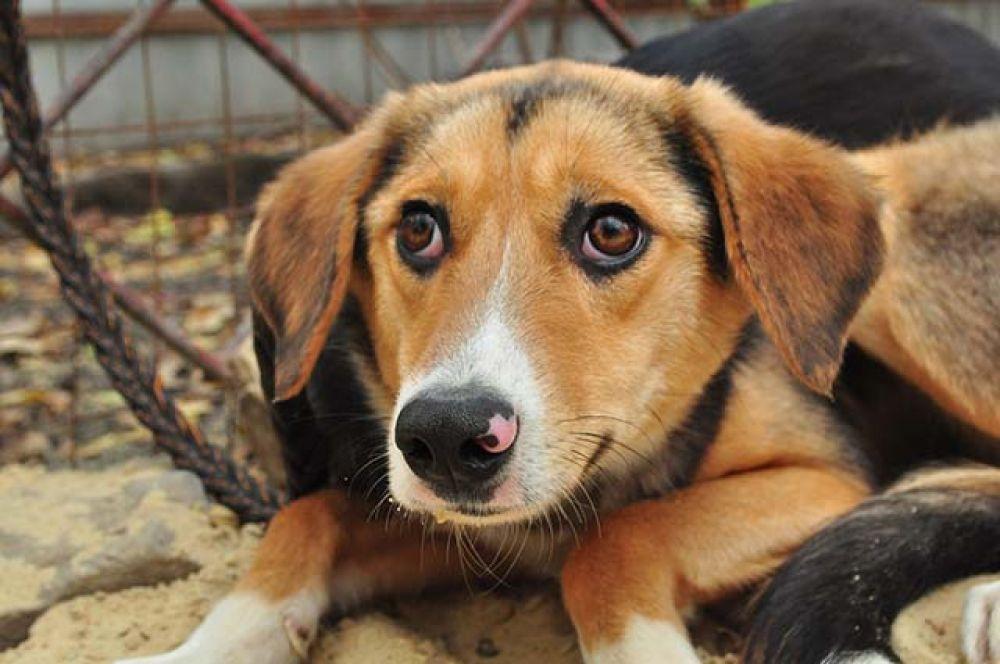 Сара - компанейская собака, дружит с сородичами. Привита, стерилизована. Два года.