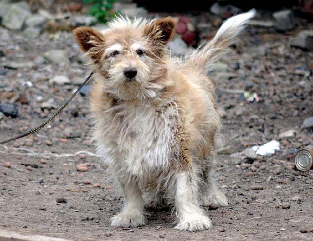 Старенький пес Тобик в поисках своего счастья. Спокойный и уравновешенный пёс, любит обниматься и поспать на мягкой лежаке, приучен к выгулу.
