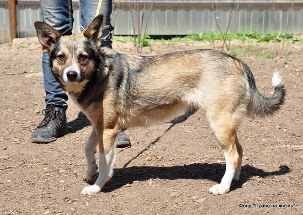 Джесси - собачка маленького размера, может жить в квартире. При этом более надёжного охранника вам не найти. Семь лет, привита и стерилизована.