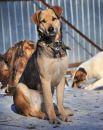 Кварц - молодой, привитый, кастрированный пес. Умеет гулять на поводке, приучен к выгулу дважды в день, дружелюбен к сородичам.
