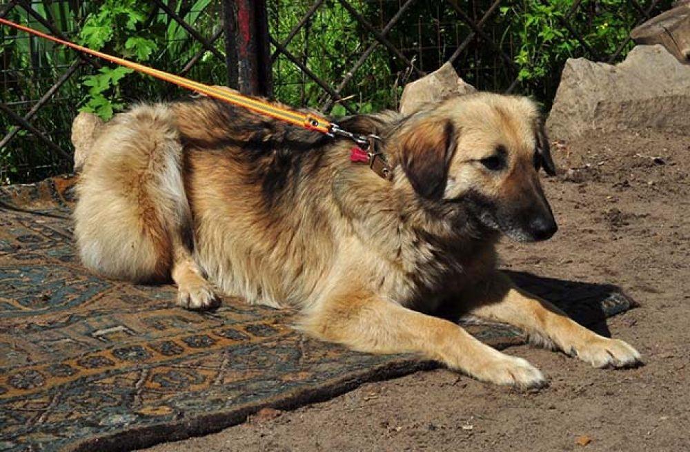 Рада - молодая и энергичная собака. К незнакомцам не доверчива, но со своими очень ласковая. Стерилизована.