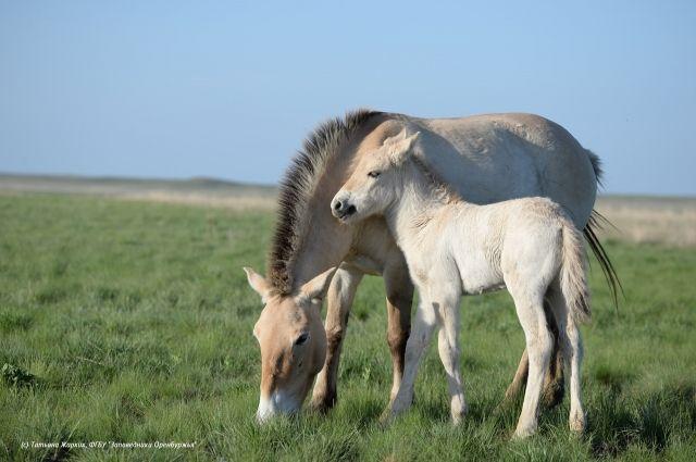 В Оренбуржье на свет появились еще два жеребенка лошади Пржевальского