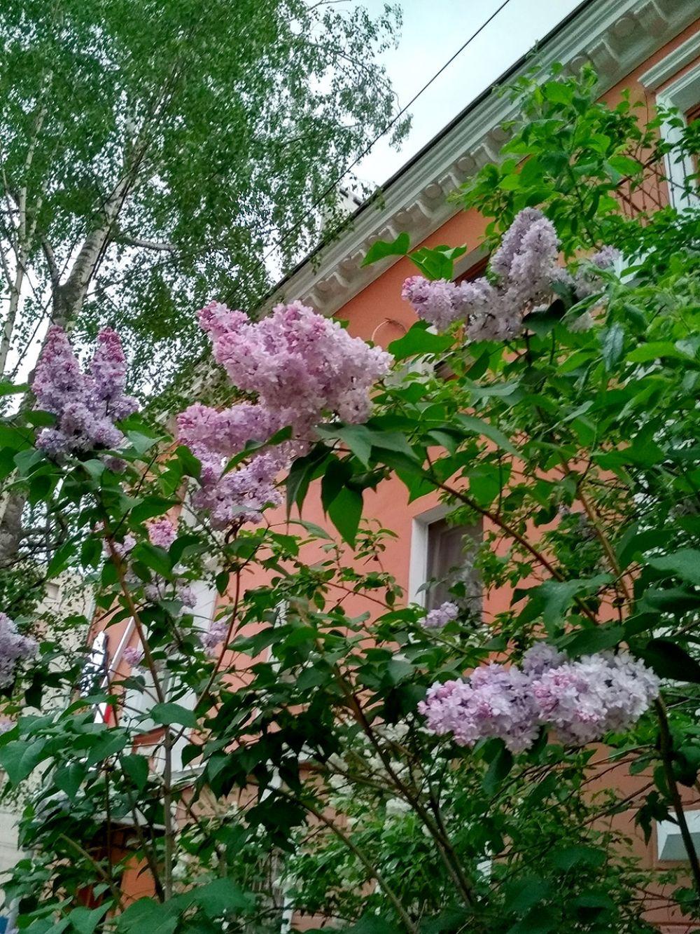Черемуха заглядывает в окна нижегородцев.