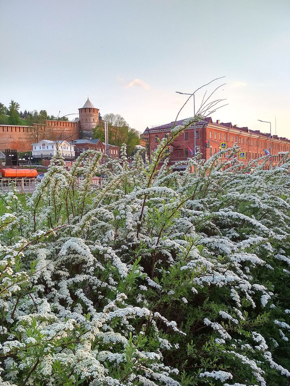 Спирея своими белыми цветами радует гуляющих по Нижневолжской набережной.