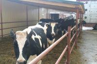 Коров и быков направят в лагеря
