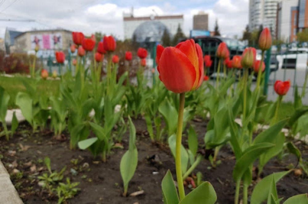 К празднику Дню Победы администрация города распорядилась высадить цветы на клумбах. Теперь они радуют взгляды прохожих.