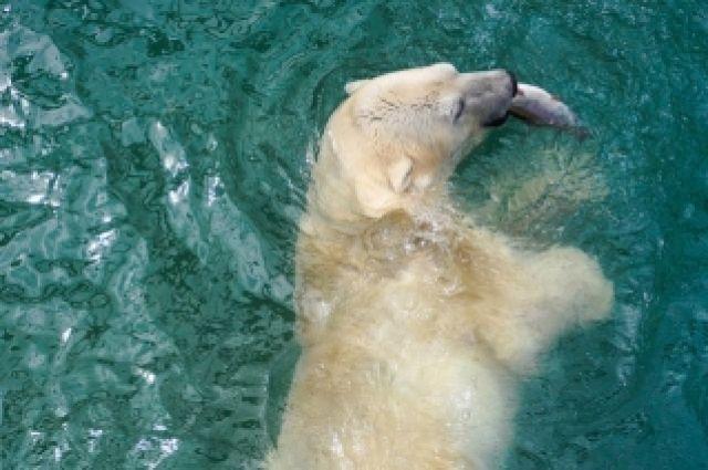 Чтобы научить медвежат навыкам охоты и рыбалки в неволе, в «Роевом ручье» и устраивают тренировочные кормления живой рыбой.