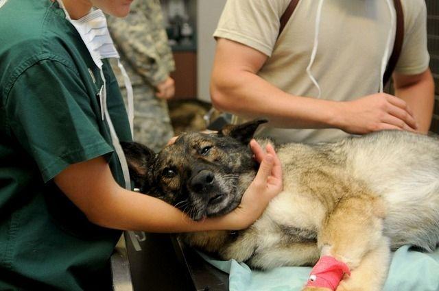 Стать донором может только крупная, привитая от всех болезней собака.