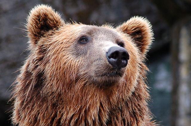 Люди предполагают, что медведь вышел из леса в поисках еды.