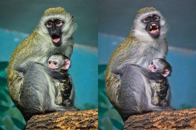 Детеныш с первых минут жизни крепко держится за маму.