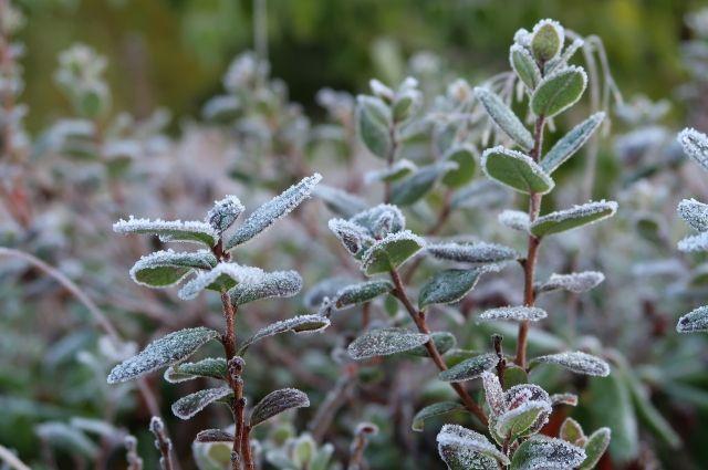 24 мая ожидаются заморозки в воздухе и на поверхности почвы от 0 до -4 градусов.