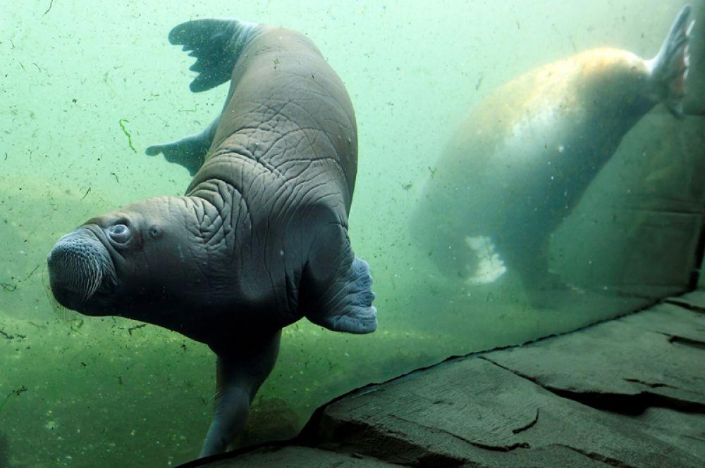 Морж и ее недавно родившийся детеныш в зоопарке Хагенбека в Гамбурге, Германия.