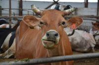 Тюменские школьники посетили молочно-товарный комплекс компании «Дамате»