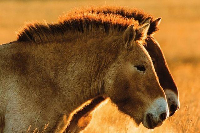 В заповеднике «Оренбургский» родился 10-й жеребенок лошади Пржевальского