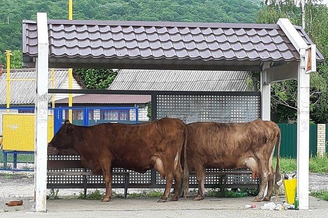 Содержание коровы селянину приносит не только хлопоты, но и убытки.